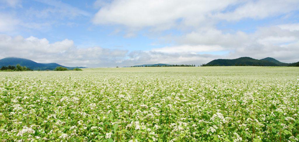 満開のそばの花、直営そば畑「あしろ農場」